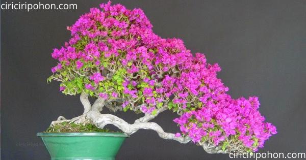 ciri ciri pohon bonsai bougenville