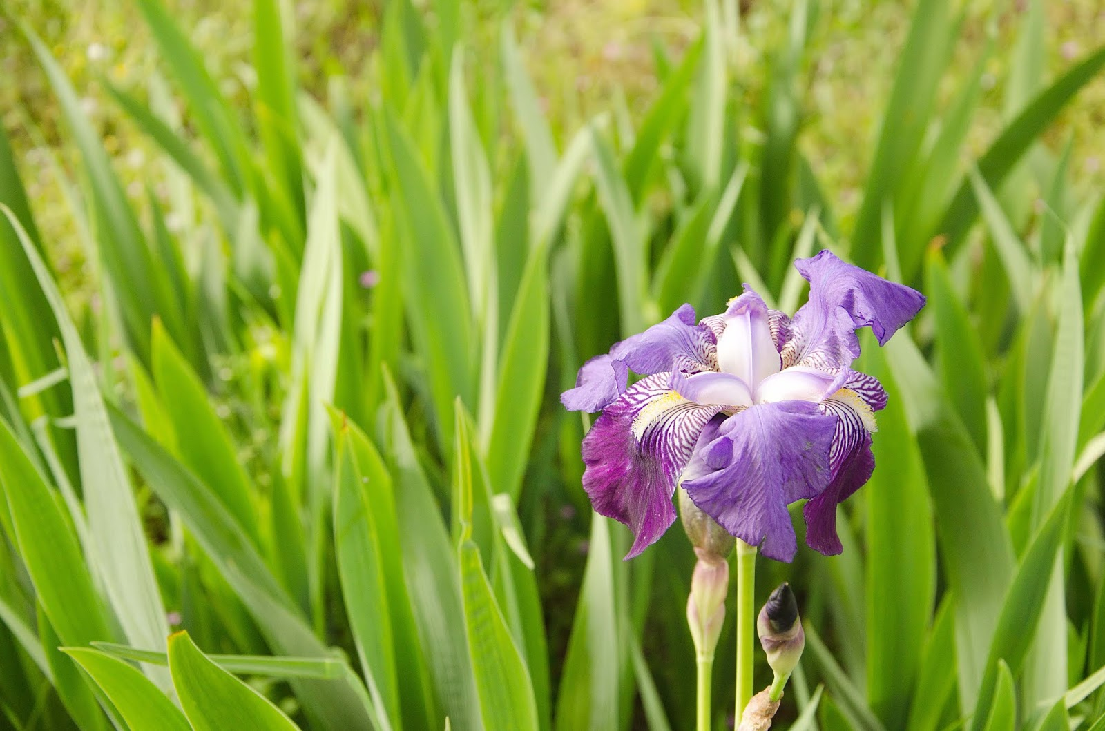 Iris - countrysidelife
