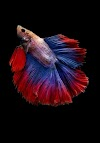Why Betta fish not eating and lying at the bottom|How many days can a betta fish can live without food?
