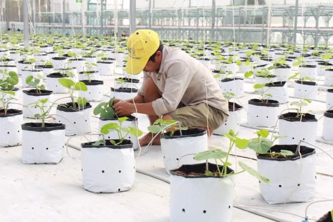 Dùng phần mềm công nghệ để xuống giống và thu hoạch rau - ảnh 2