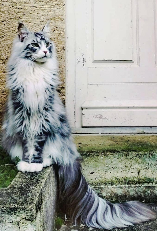 Picture of an extraordinary Maine Coon tail