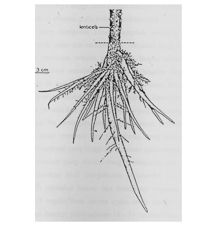 Adaptasi Tumbuhan Mangrove Pada Lingkungan Salin Dan Jenuh Air
