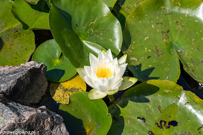Powsin ogród botaniczny PAN rośliny kwitnące lilie wodne