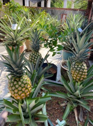buah nenas, hasil berbudi pada tanah, masakan kampung, menu sedap