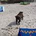 Απίστευτες σκηνές σε παραλία από εισβολή αγριόχοιρου (videos+photo)