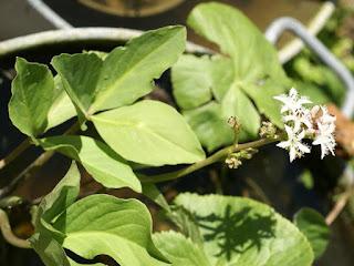 Menyanthes Trèfle d'eau - Menyanthes trifoliata