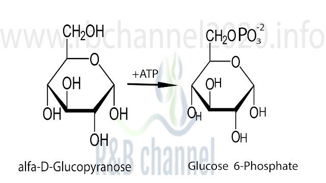 استرة d-glucopyranose الى غلوكوز 6 فوسفات