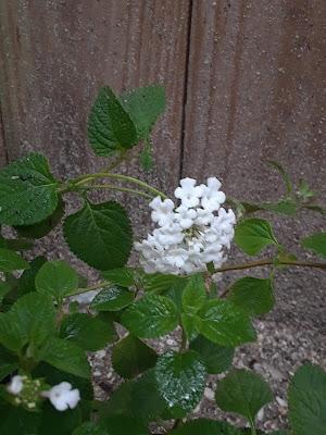 white lantana flower