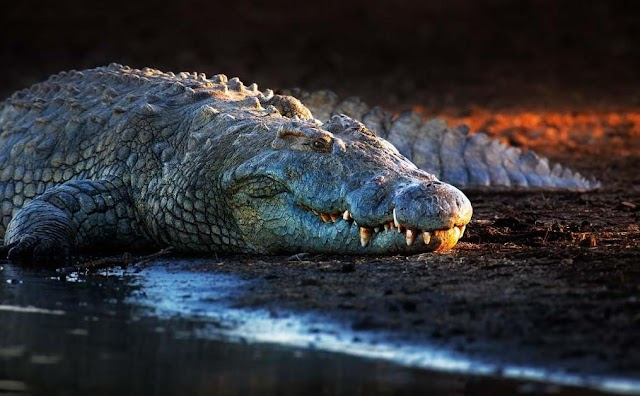 The village lives with hundreds of crocodiles
