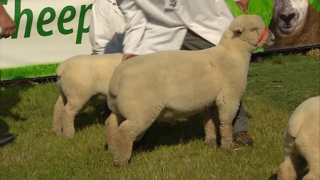 Southdown Sheep Disadvantages, Advantages, Characteristics, Price