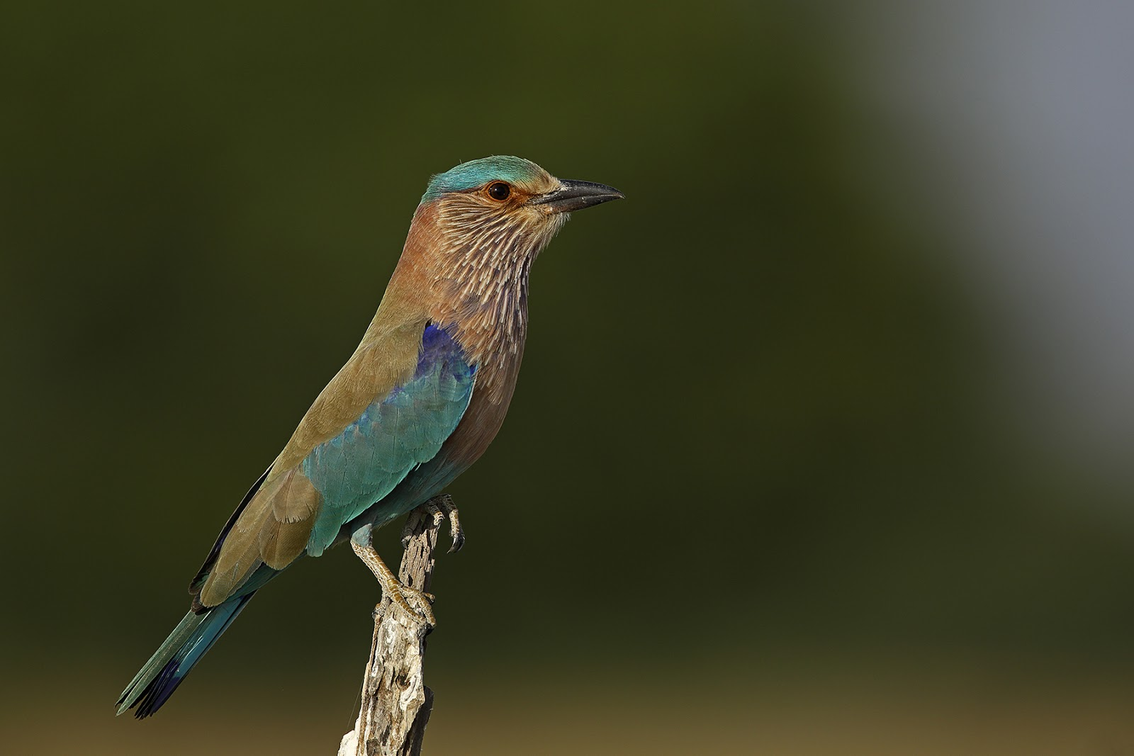 Karnataka state symbols indian roller coracias indica biocorpaavc Images