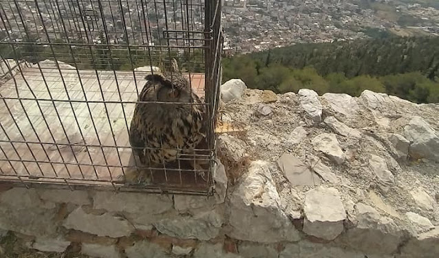Απελευθέρωση μπούφου στο Άργος