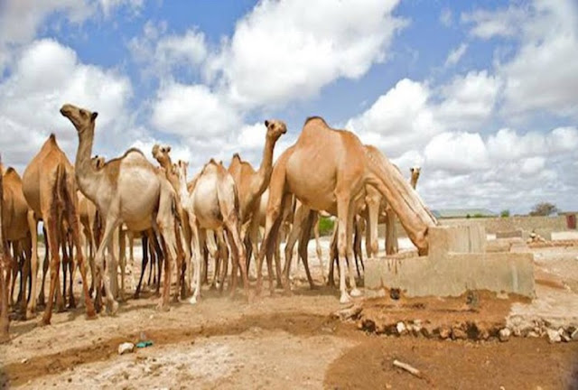 Order to Shoot 10,000 Camels in Australia, The Reason is Very Strange