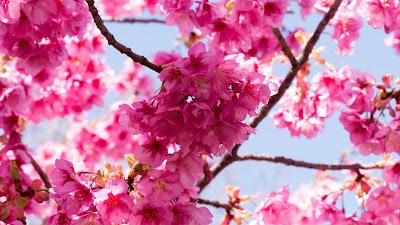 Sakura, pink flowers, twigs, macro
