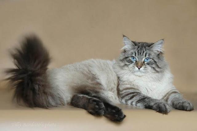 Самые грациозные и красивые кошки породы Невская маскарадная
