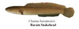 baram snakehead