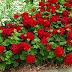 Pelargonium hortorum «malvón»