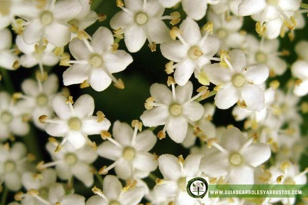 Flores de Sauco, son de color blanco muy menuditas, de 5 milímetros de diámetro