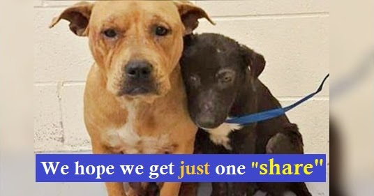 Help! Unloved & Unwanted Pit Bulls Cling To One Another For Comfort