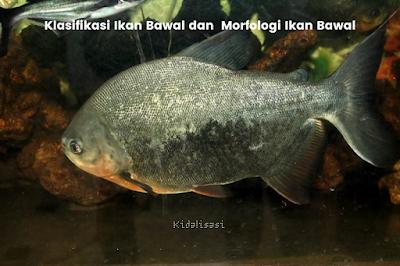 Klasifikasi Ikan Bawal dan  Morfologi Ikan Bawal  (Colossoma macropum)