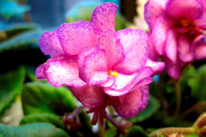 Violeta africana flor doble