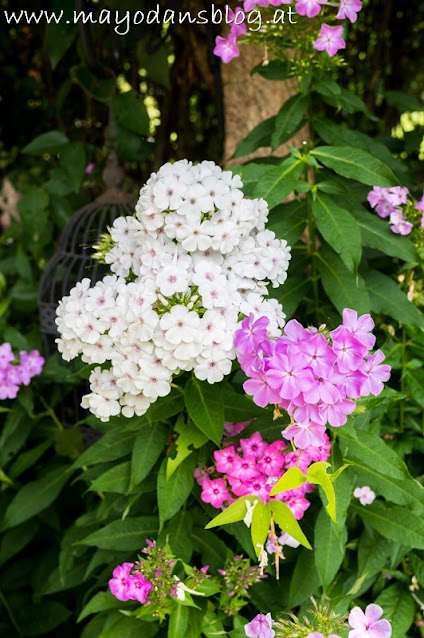 weißer und rosa Phlox