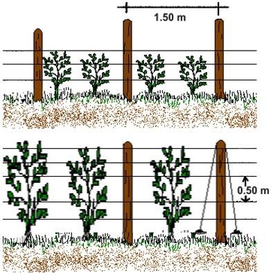 Sistema de tutorado en hortalizas informaciones agronomicas - Tutores para tomates ...
