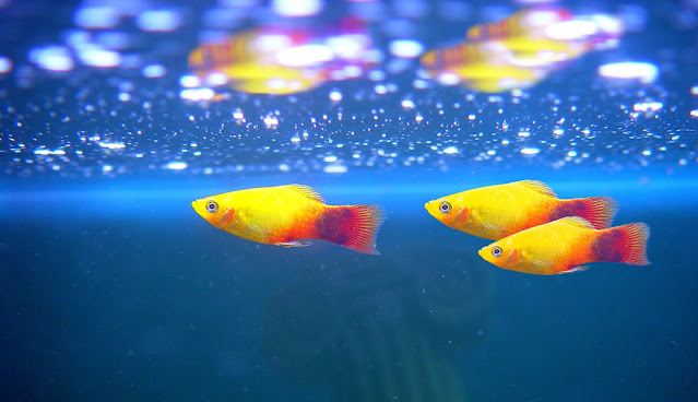 platy fish lifespan