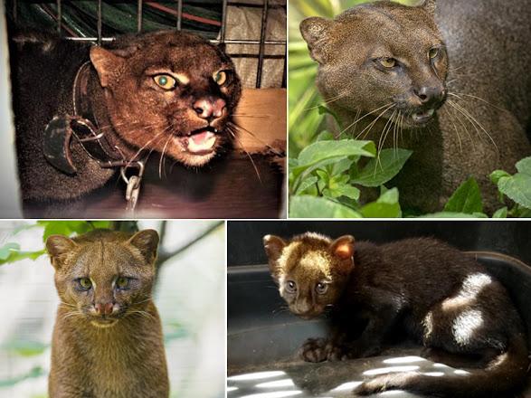 Yaguarundí  El felino olvidado en América Latina