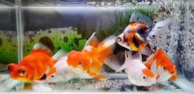 Tips Memilih Ikan Mas Koki yang Baik