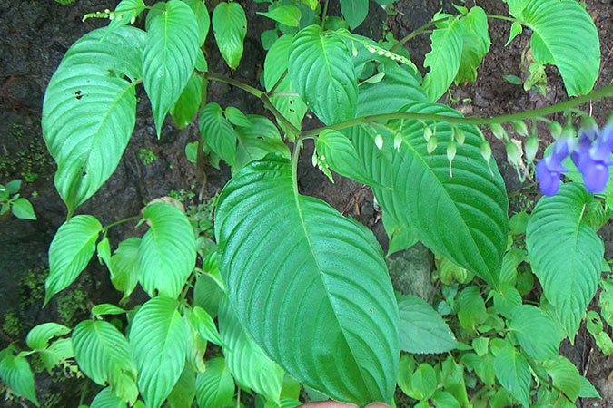 Dlium Jonjing (Rhynchoglossum obliquum)