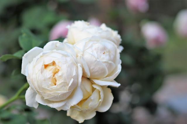 david, austin, roses, gardener, gardening, gardens, cottage, gardens, athomewithjemma