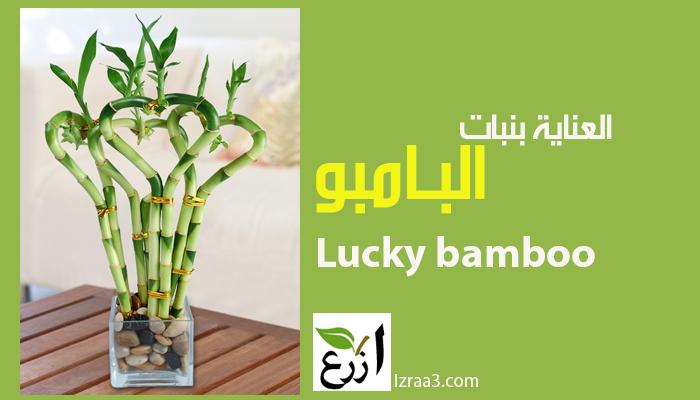 اكثار نبات البامبو  و العناية به  lucky bambo