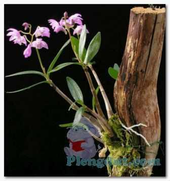 Sebagai tanaman saprofit, tanaman anggrek tumbuh pada sisa-sisa kayu mati