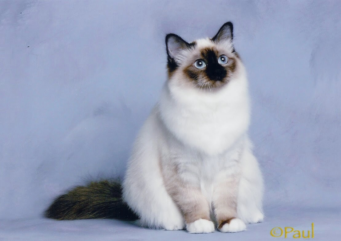 Communication on this topic: How to Identify Birman Cats, how-to-identify-birman-cats/