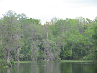Wakulla Springs Cypress Trees, Florida