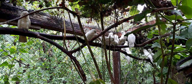Balai Konservasi Sumber Daya Alam (BKSDA) Maluku melepas secara bertahap 61 ekor burung kakatua Tanimbar (cacatua goffiniana) ke habitat.
