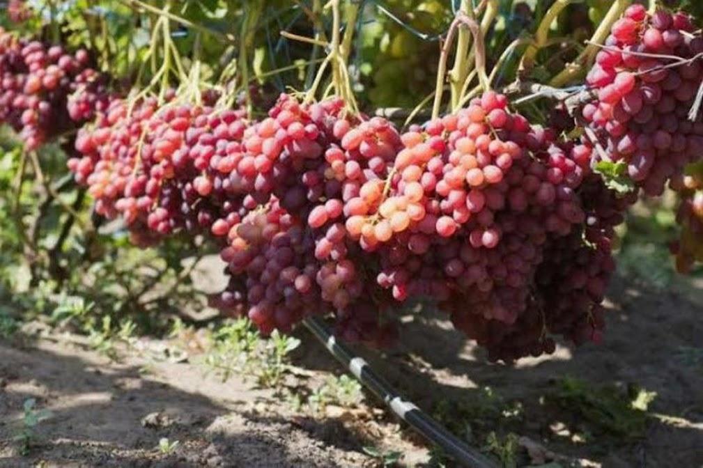 Bibit Anggur Import Jenis Veles Sumatra Barat