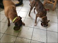 Boxer- Amy und Elvis beim Fressen