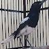 Cara Mengatasi Burung Kacer Kutuan Yang Simpel Tanpa Obat