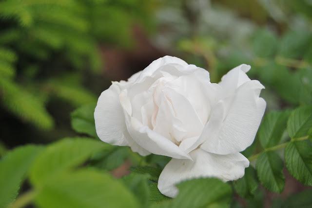 Rosa rugosa 'Blance Double de Courbet'