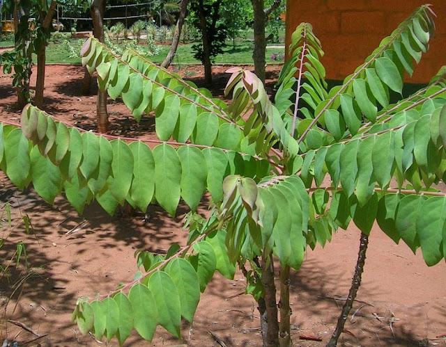 Tầm Duột - Phyllanthus distichus - Nguyên liệu làm thuốc Chữa Tê Thấp và Đau Nhức