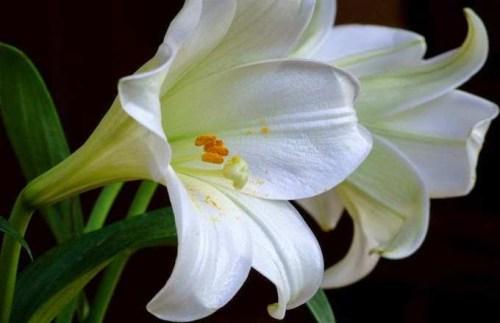 Keistimewaan Bunga Lili Di Indonesia