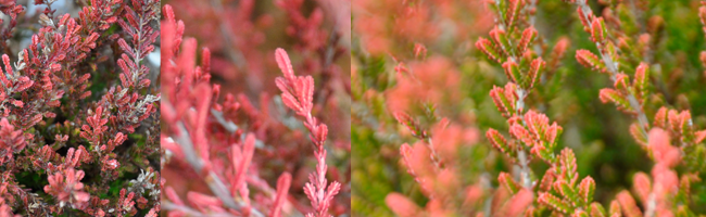 Growing with plants: Heaths and Heather - The Uncommon