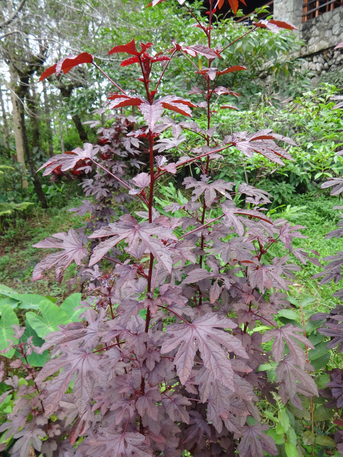 Herbs From Distant Lands Hibiscus Acetosella Cranberry Hibiscus