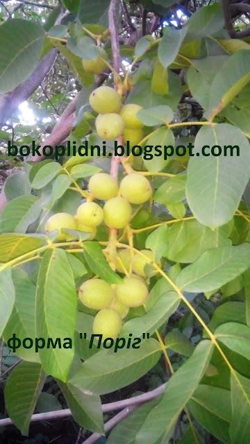 ІНТЕНСИВНІ плантації горіха швидкоплідного