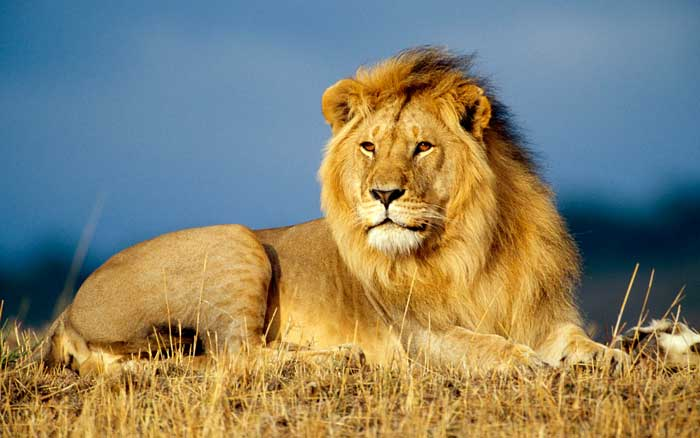 How Old is a male Lion