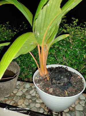 Menyuburkan Daun Bonsai Kelapa yang Tepat dan Lebih Sehat