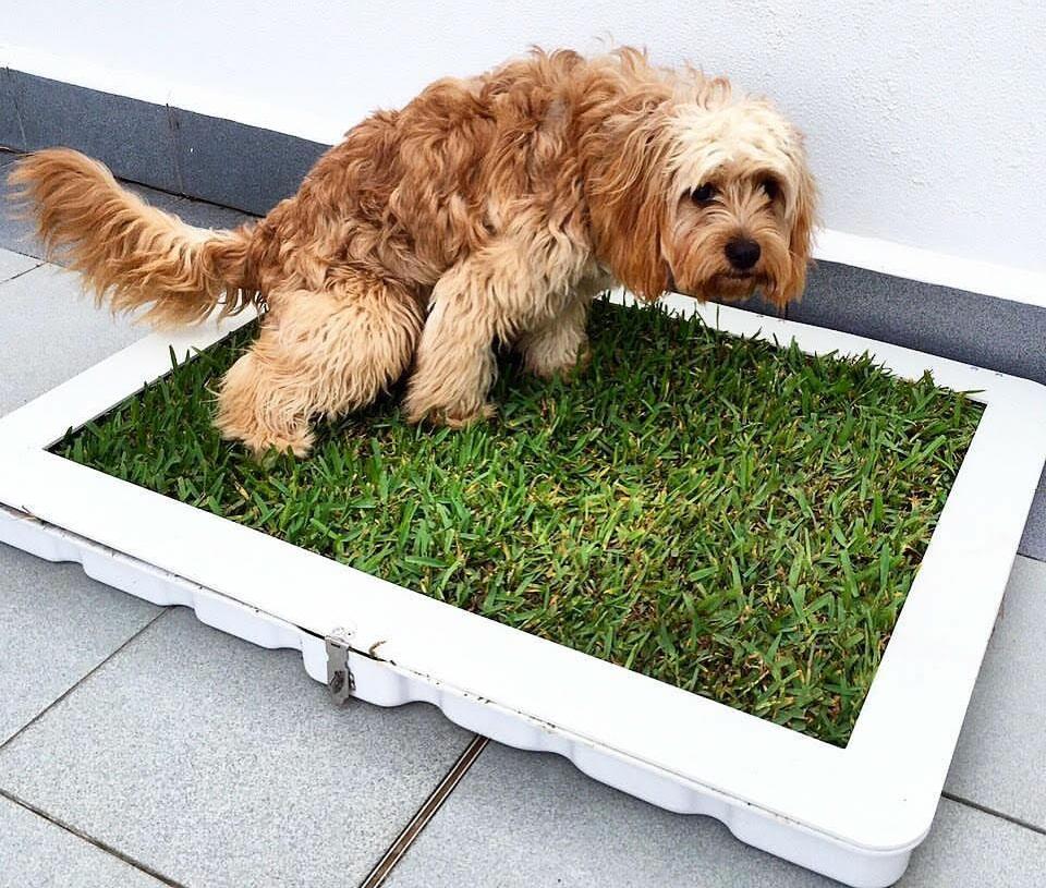 Potty Plant Easy Dog Toilet Training Australian Dog Lover