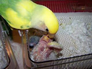 Burung Lovebird - Perawatan Anakan Burung Lovebird Yang Sudah Menetas - Penangkaran Burung Lovebird